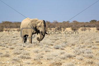 African elephant bull in Etosha Wildlife Reserve