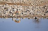 Springbok (Antidorcas Marsupialis ), Etosha National Park