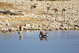 Springbok (Antidorcas Marsupialis), Etosha National Park