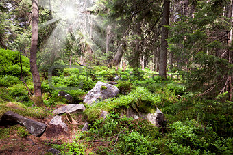 Old forest in the mountain -   stones, moss, sunbeams  and pine