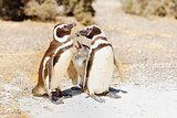Magellanic Penguins family