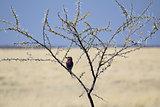 Lilac-breasted Roller, (Coracias caudatus), Etosha National Park