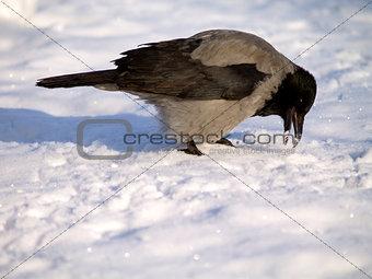 Corvus