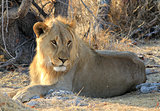 Young male lion (Panthera leo) lying in the grass, Etosha
