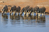 Herd of Burchell´s zebras drinking water in Etosha wildpark