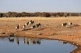 Herd of Burchell´s zebras drinking water in Etosha wildpark