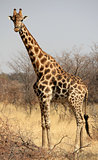 Giraffe in Mahango Game Park
