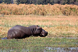 Wild hippopotamus in waterhole, Mahango game park