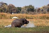 Wild hippopotamus in waterhole, Mahango game park