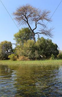 "Okavango Delta water and ""Cyperus papyrus"" plant landscape."