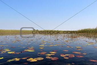 "Okavango Delta water lillys and ""Cyperus papyrus"" plant landscap"