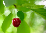 Sweet and Juicily Ripe Cherries on a Tree Branch