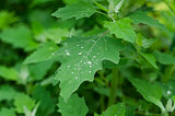 water droplets on the  foliage Loboda