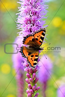 small tortoiseshell (aglais urticae ) butterfly sitting on a purple flower