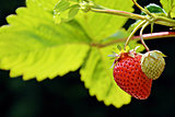organic home grown ripe strawberry with an unripe strawberry fruits on the branch