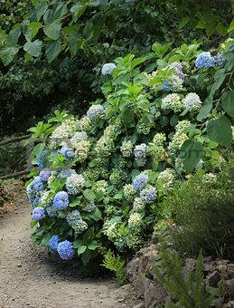 Blue hydrangea in park