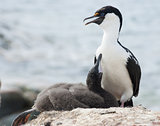 Antarctic blue-eyed shags and the chick on the nest.