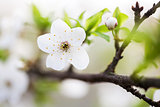 Beautiful spring blossoming plum tree