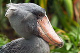 Shoebill, side face