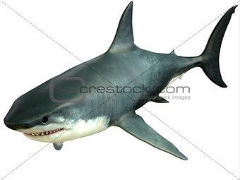Great White Shark Upper