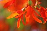 Trailing Orange Begonia