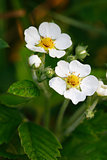 Wild Strawberries Flowers
