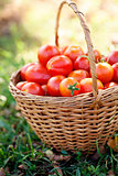 Freshly harvested tomatoes