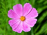 pink cosmos flower on blurry green background