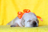 yellow labrador puppy sleeping portrait