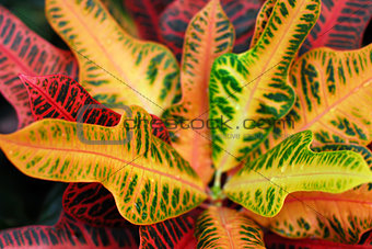 croton indoor plant