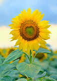 Single sunflower isolated