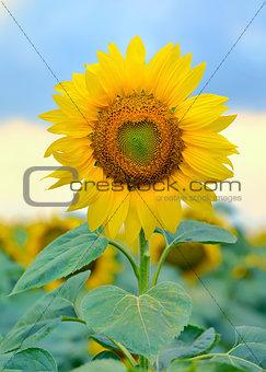 Single sunflower isolated
