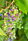 young unripe grapes