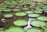 Giant Amazonian Water Lily Pads