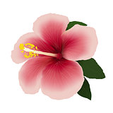 Hibiscus flower.. editable vector illustration..