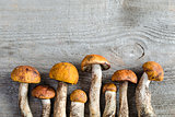 Orange-cap boletus mushrooms