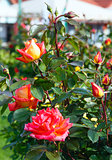 Spring bush of red rose flowers