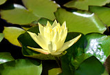 yellow water lily with green leaves swimming in a pond