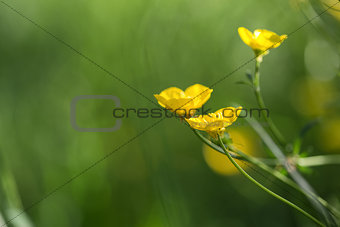 Close up image of vibrant buttercups in wildflower meadow