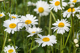 Close up image of wild daisy flowers in wildflower meadow