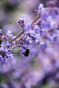 Close up image of wild lavender plant landscape with bumble bee