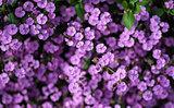 Close up top view image of purple wild flower landscape