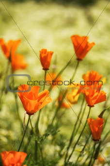 Close up image of California poppy flowers in landscape