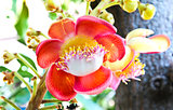 A flower from the unusual cannonball tree (Couroupita guianensis