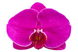 Flower lilac orchid