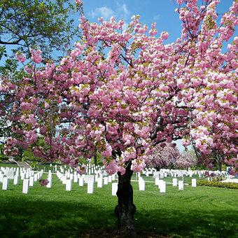 Arlington Cemetery Sakura tree