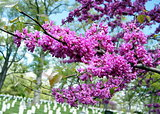 Arlington National Cemetery blooming trees 2010