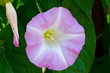 morning glory blossom