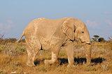 White Elephant, Etosha National Park, Namibia