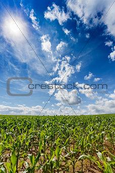 green field of corn growing up